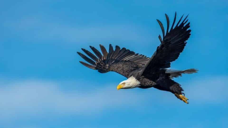 Significado de Águia – Simbolismos culturais e espirituais associados a ave