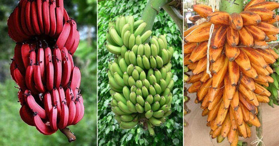 Tipos de banana – Principais variedades encontradas no Brasil