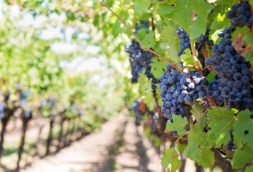 Tipos de uvas – Mais populares usadas na produção de vinhos