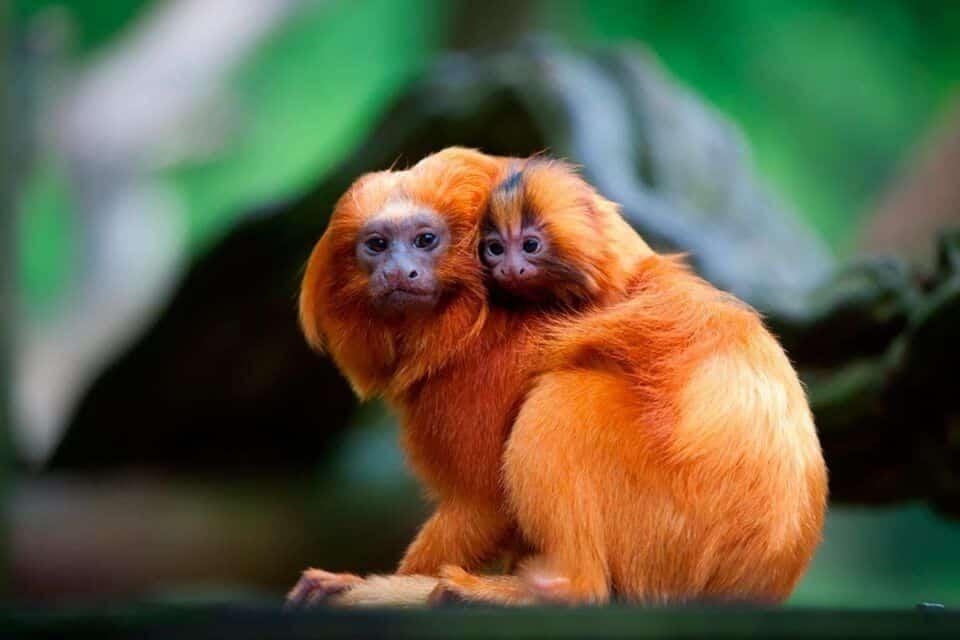 Animais em extinção – Espécies quase extintas no Brasil e no Mundo
