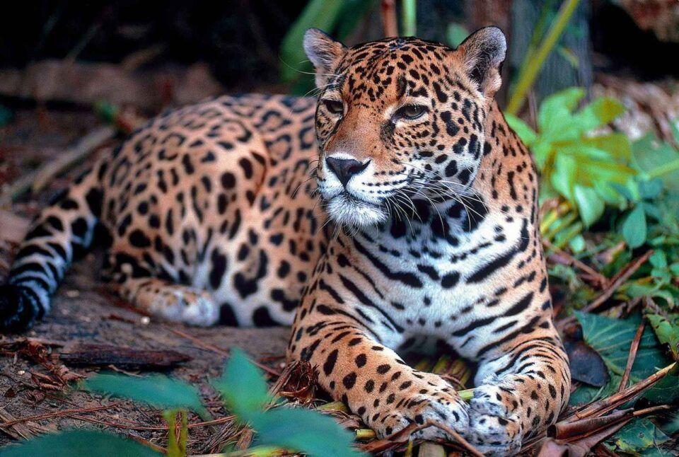 Animais em risco de extinção – Quais são no Brasil e no Mundo