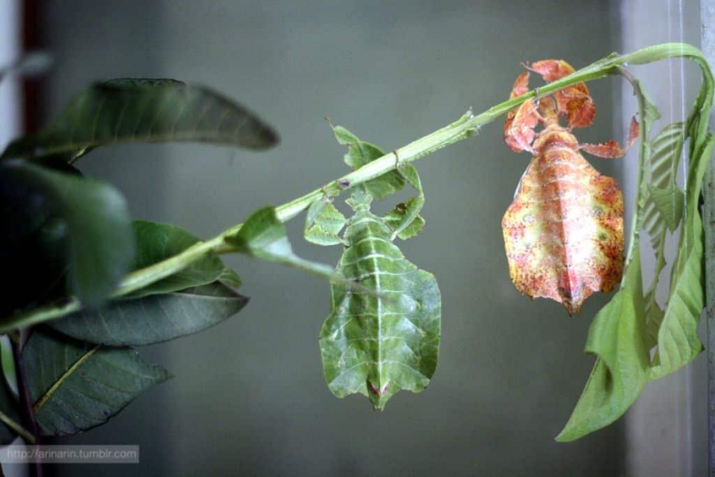Bicho-folha, o que é? Origem, espécie e características