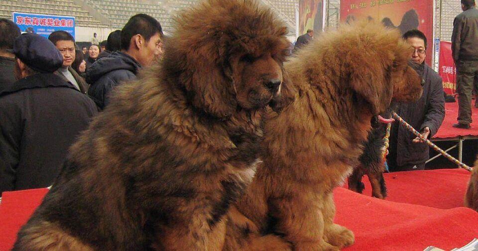 Cachorro mais caro do mundo – Filhote de luxo a preço milionário