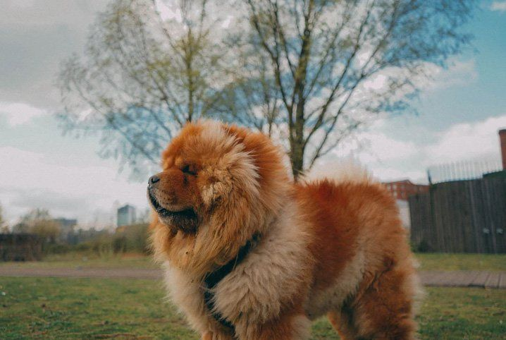 Cachorro mais perigoso do mundo - 14 raças que precisam de cautela