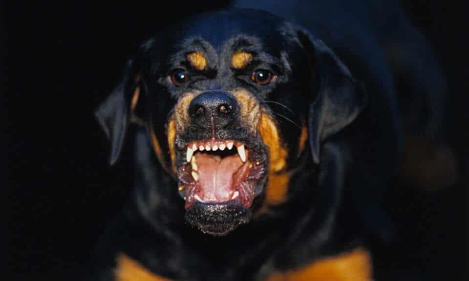 Cachorro mais perigoso do mundo – 14 raças que precisam de cautela