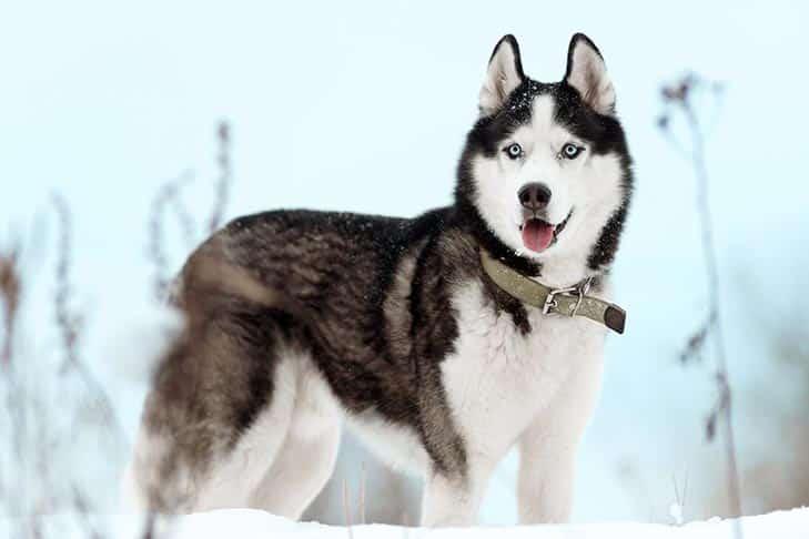 Cachorro preto e branco - 7 raças encontradas na combinação das cores