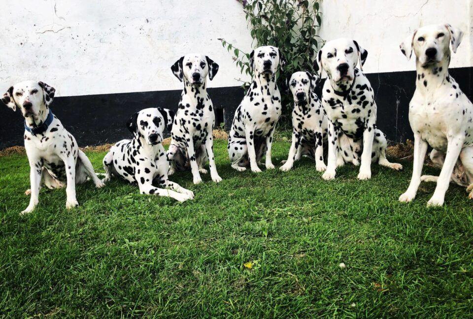 Cachorro preto e branco – 7 raças encontradas na combinação das cores