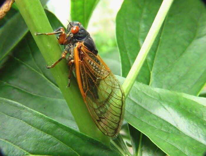 Cigarra: tipos, características e curiosidades sobre este inseto