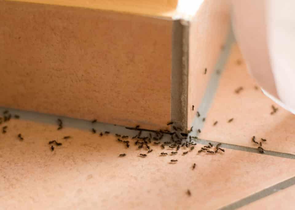 Como acabar com formigueiro – 10 soluções naturais