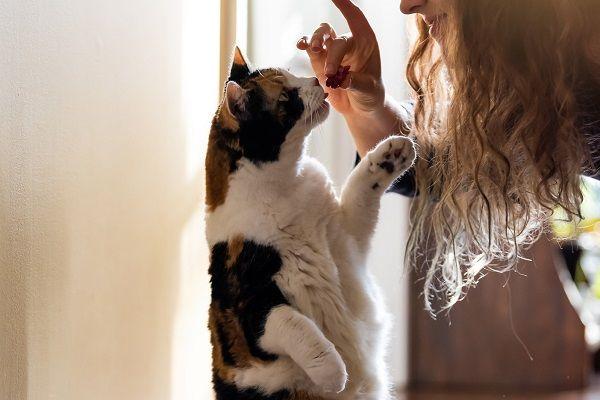 Felino comendo petisco, imagem ilustrativa do item em questão