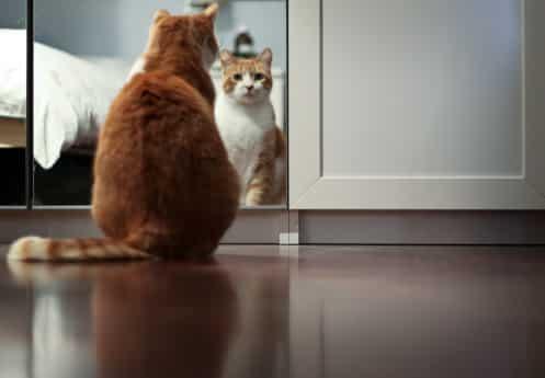 Felino diante do espelho