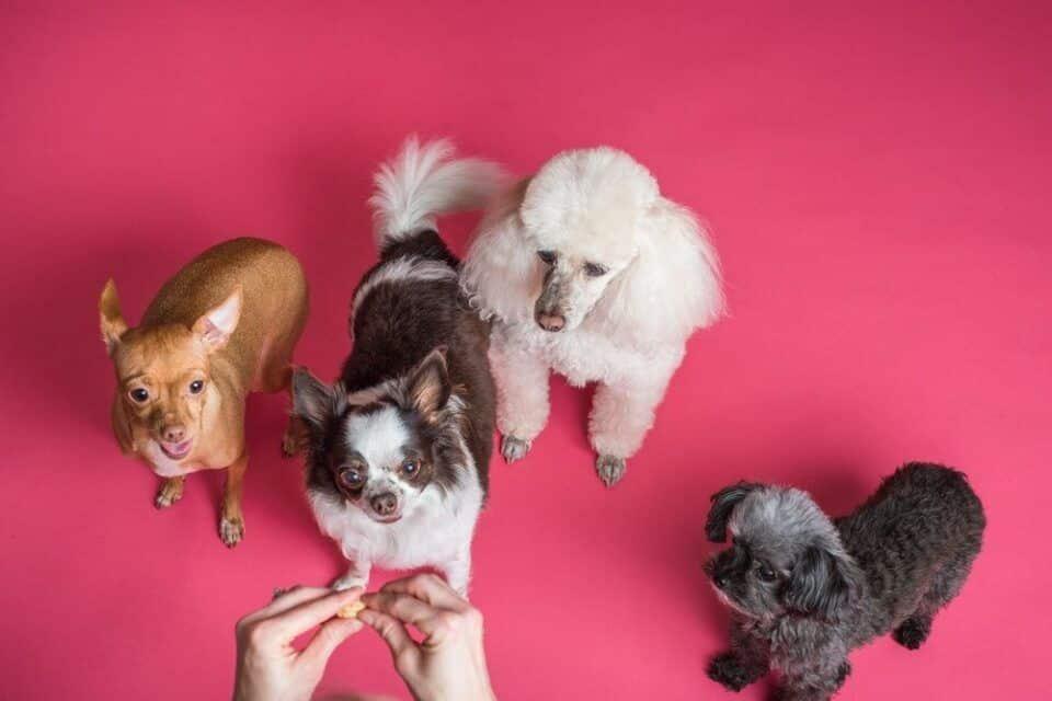 Cores de cachorro – Características e padrões em diferentes raças de cães