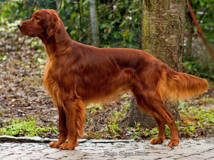 Cores de cachorro: características e padrões em diferentes raças de cães