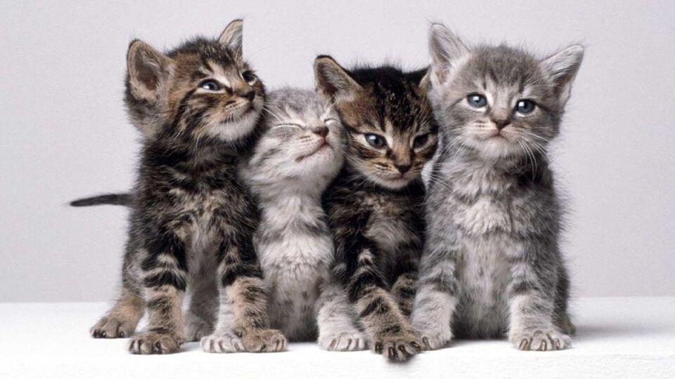 Filhotes de gato – Cuidados necessários para manter a saúde do seu pet