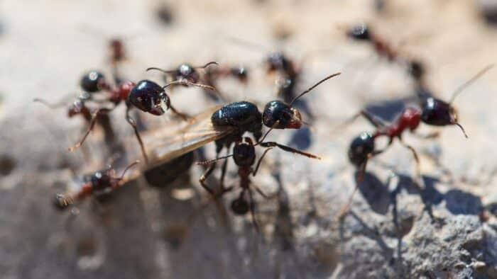 Formiga-rainha: fatos incríveis sobre a líder dos formigueiros