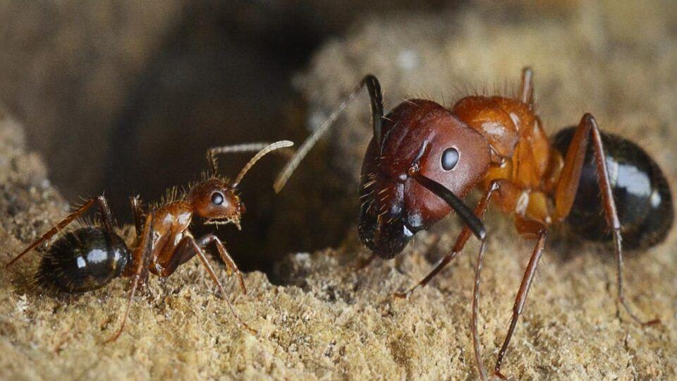 Formiga-rainha – Fatos incríveis sobre a líder das colônias
