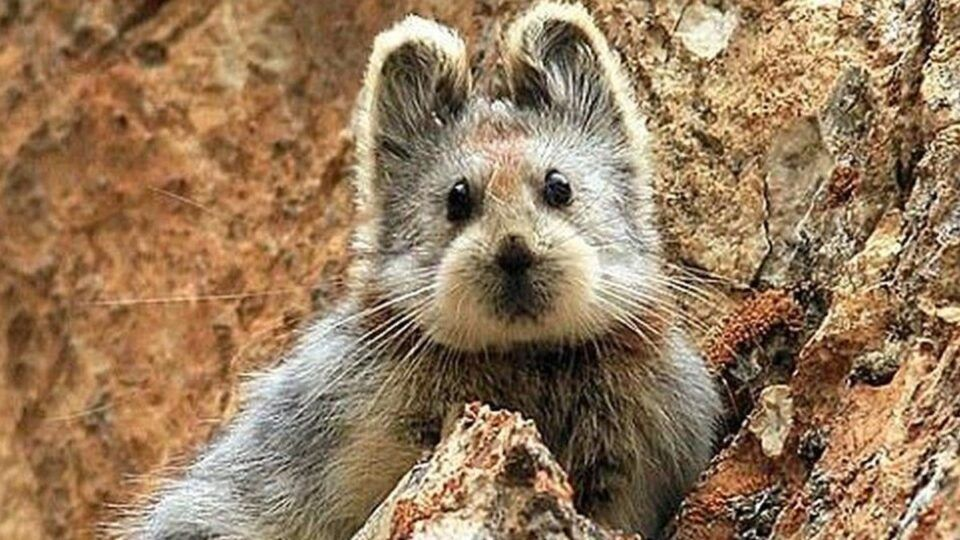 Pika-de-ili – Pequeno mamífero raro que serviu de inspiração para Pikachu