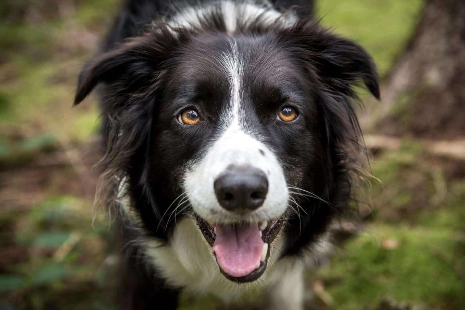 Raças de cachorro mais inteligentes - 10 destaques de inteligência canina
