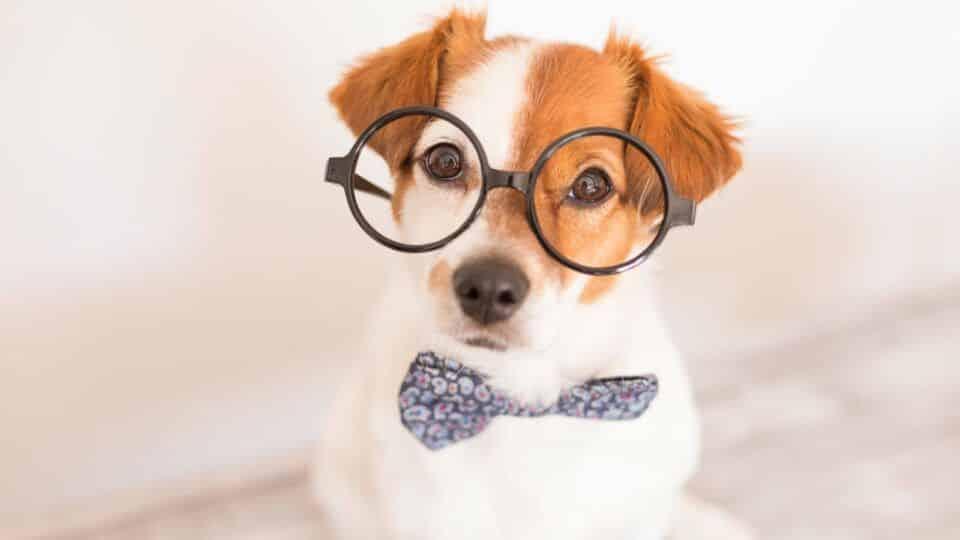 Raças de cachorro mais inteligentes – 10 destaques de inteligência canina