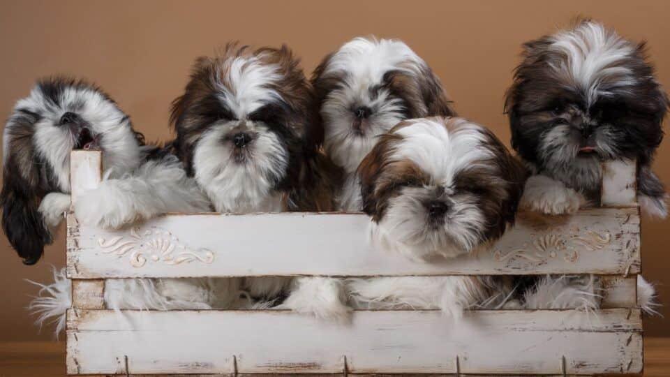 Raças de cachorros peludos – 18 mais populares e fofas