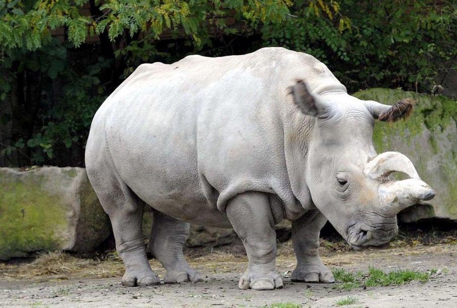 Rinoceronte branco – Espécie quase extinta pode ser salva pela ciência