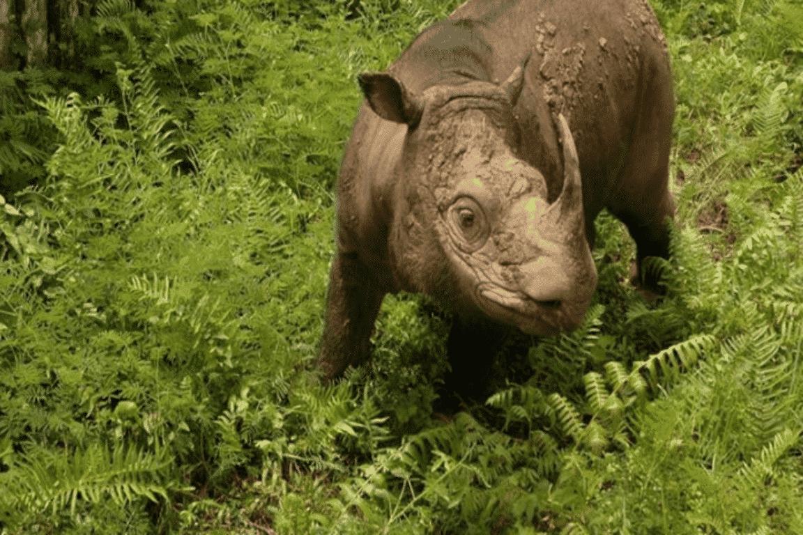 Rinoceronte, quais são as espécies? Origem, características e extinção