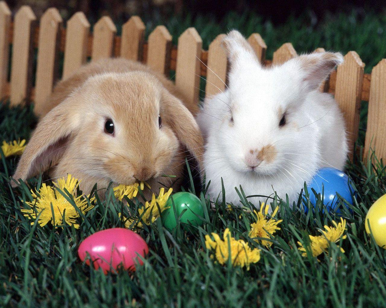 Fotografia de coelhos para ilustração do item