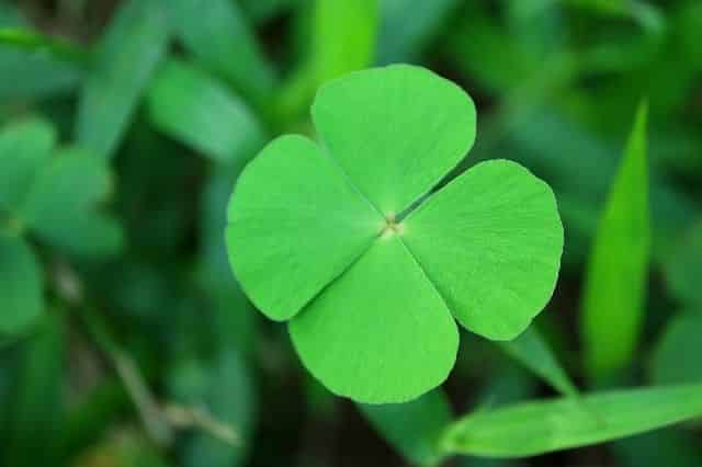 Trevo de quatro folhas - porque a planta é considerada amuleto de sorte