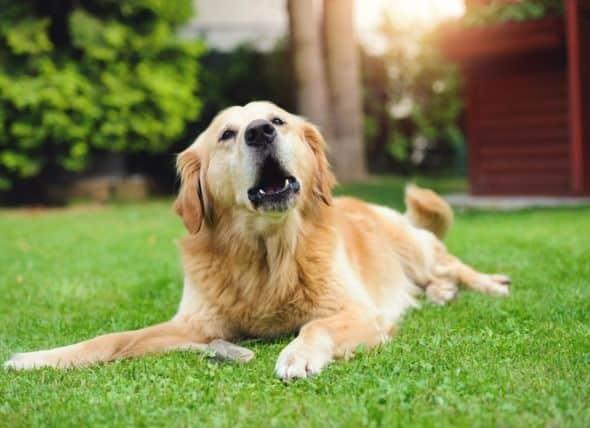 Cachorro latindo - principais motivos e formas de reduzir o comportamento