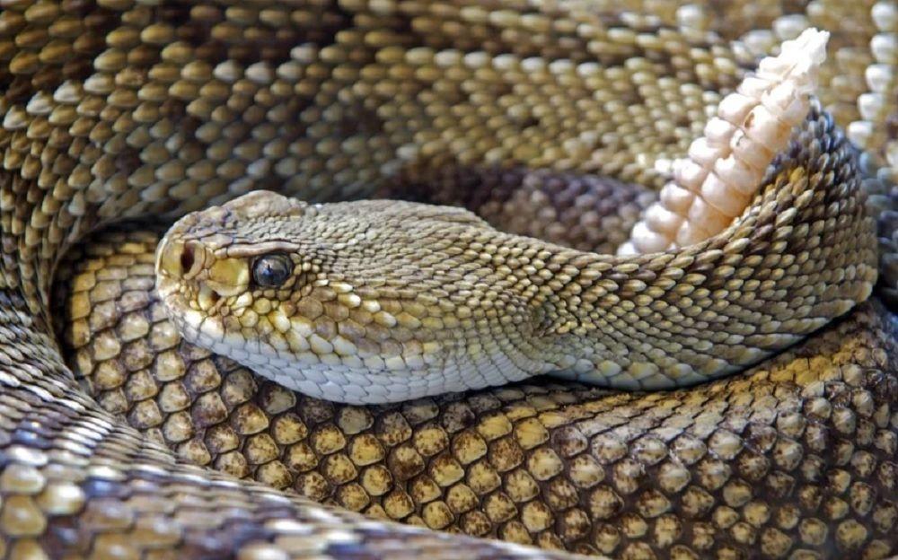 Cobras peçonhentas - principais diferenças para as outras espécies