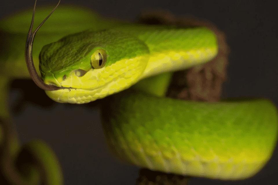 Cobras peçonhentas – Principais diferenças para as outras espécies