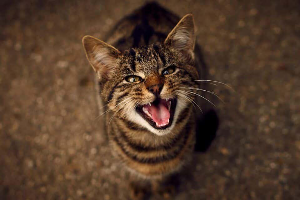Gatinho miando – Significado e os diferentes tipos de miados do animal