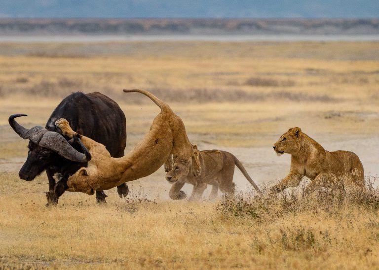 Leões - características, hábitos e estruturas de organização social