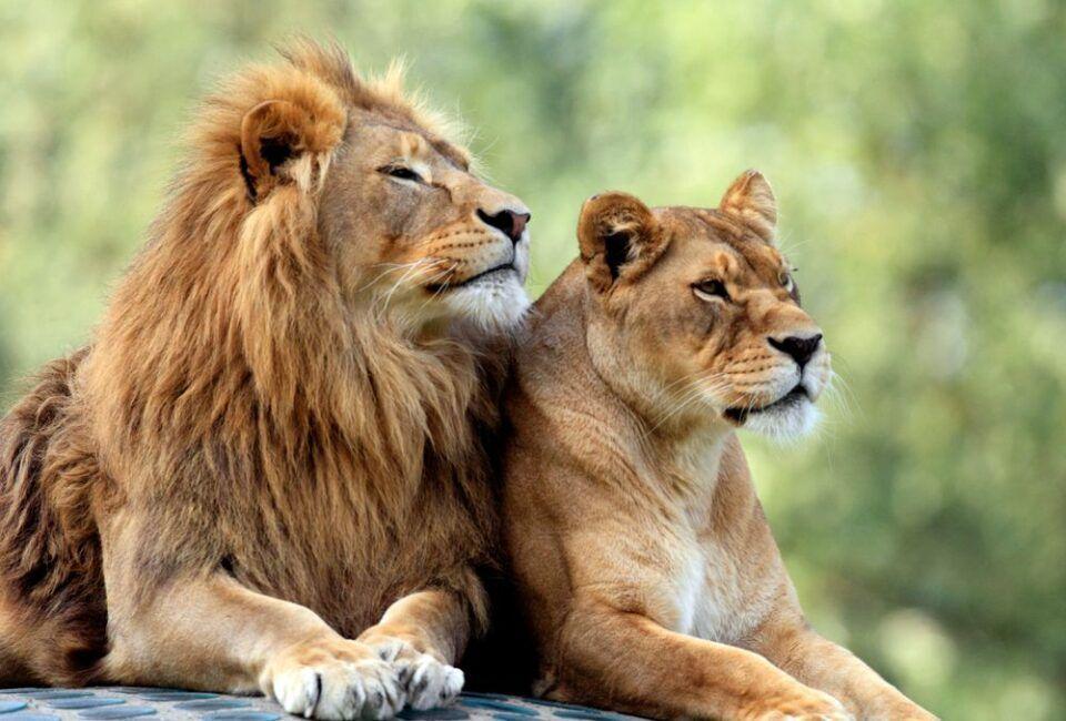 Leões – Características, hábitos e estruturas de organização social