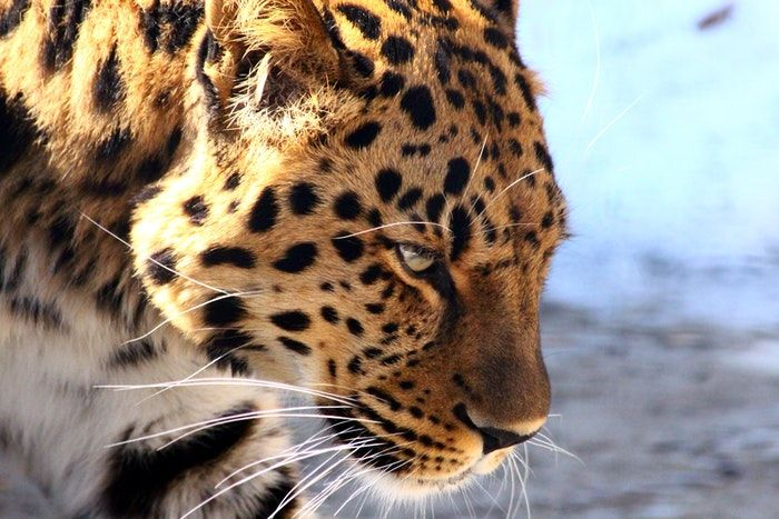 Maior felino do mundo: definição e características do animal híbrido
