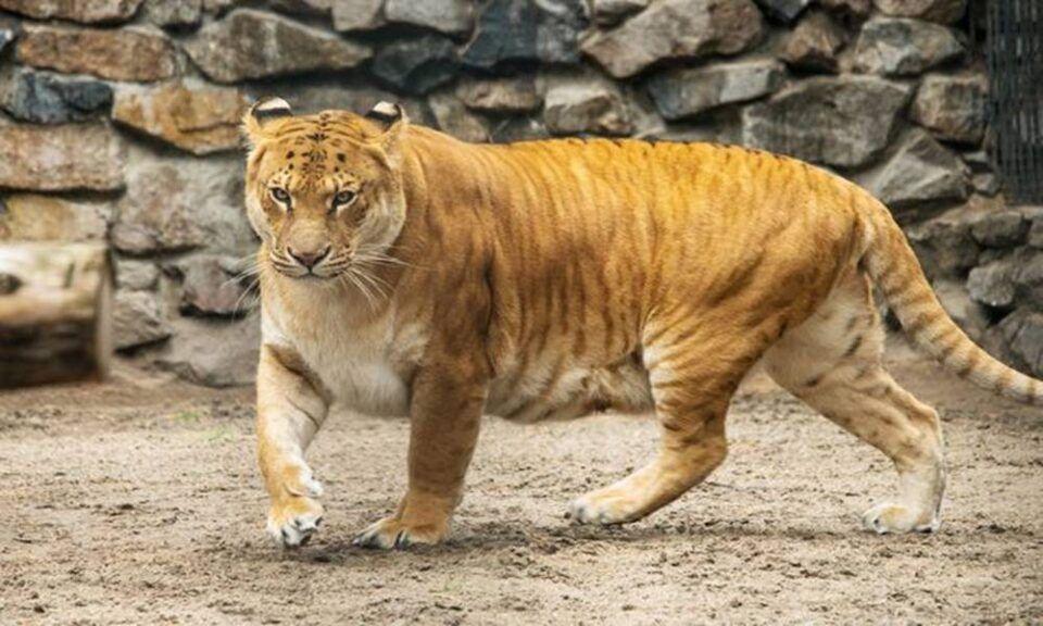 Maior felino do mundo – Definição e características do animal híbrido