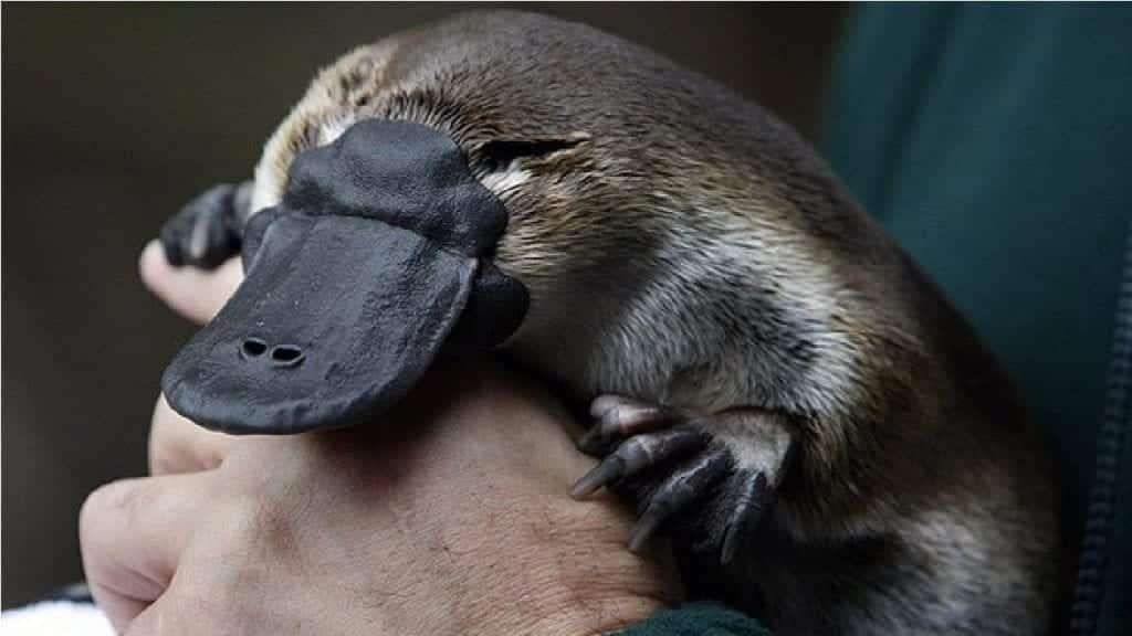 Fotografia de um ornitorrinco para ilustração do item