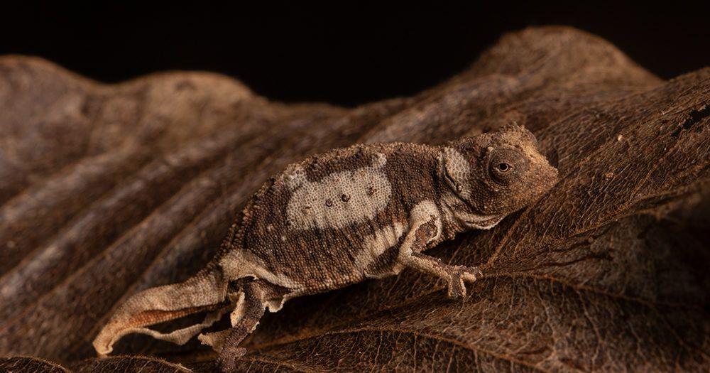Menor réptil do mundo - camaleão de Madagascar tem apenas 2,5 cm