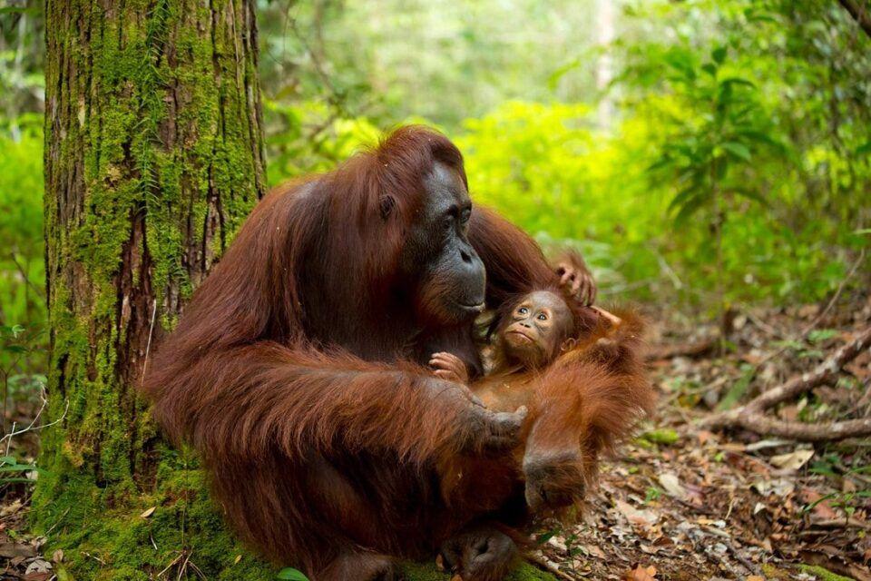 Orangotangos – Espécie, características e risco de extinção
