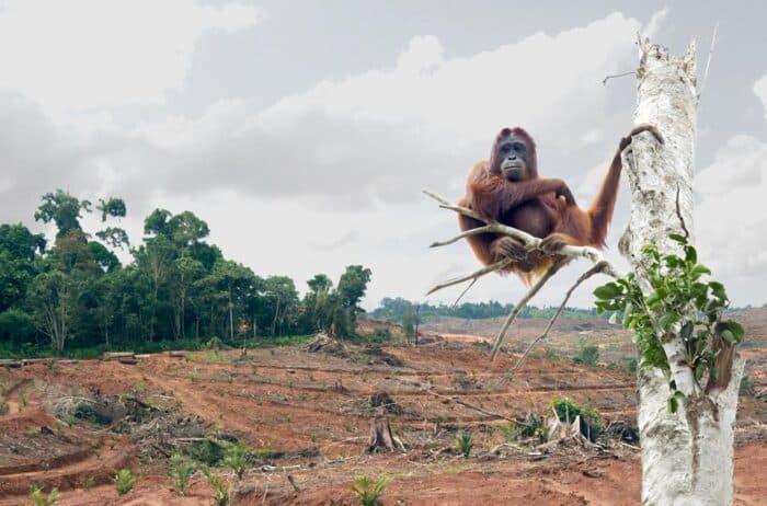 Orangotangos: espécie, características e risco de extinção
