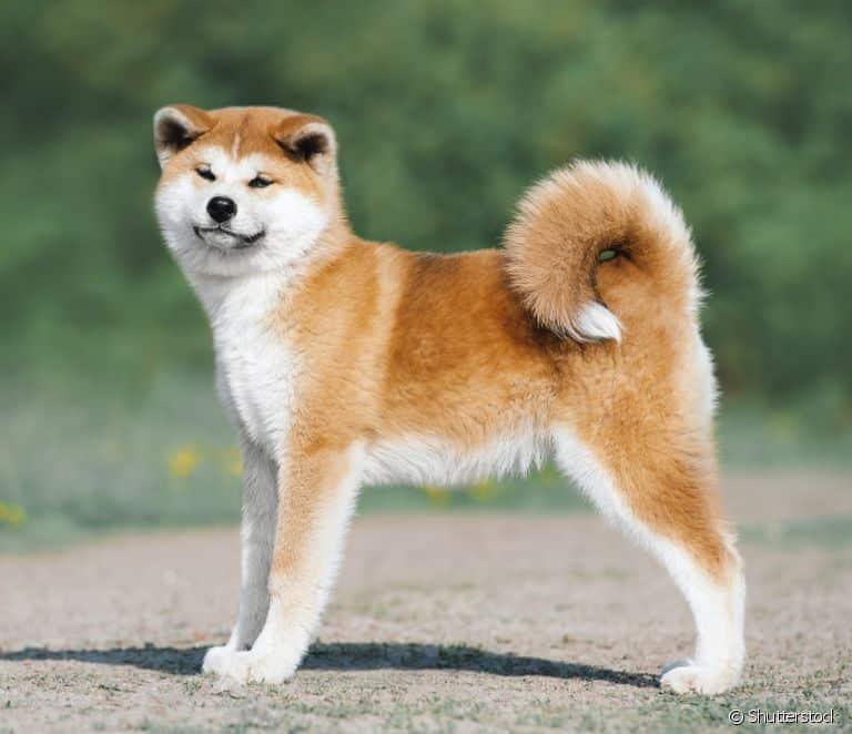 Fotografia de um cão Akita para ilustração do item
