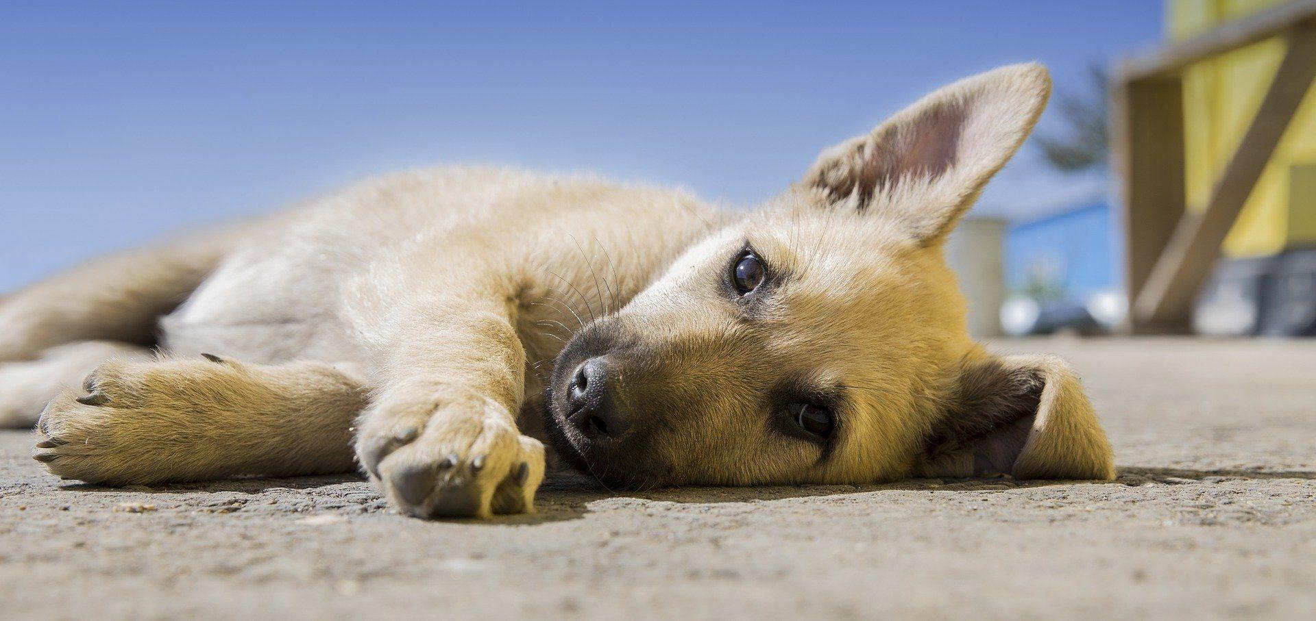 Fotografia de um cão deitado para ilustração do item