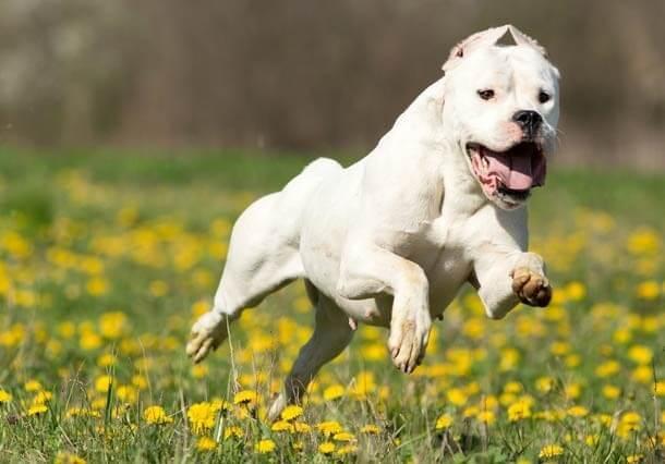 Fotografia de um Dogo Argentino para ilustração do item
