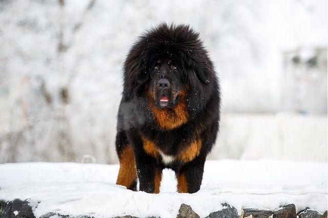 Raça de cachorro gigante, quais são? 26 populares espécies de cães