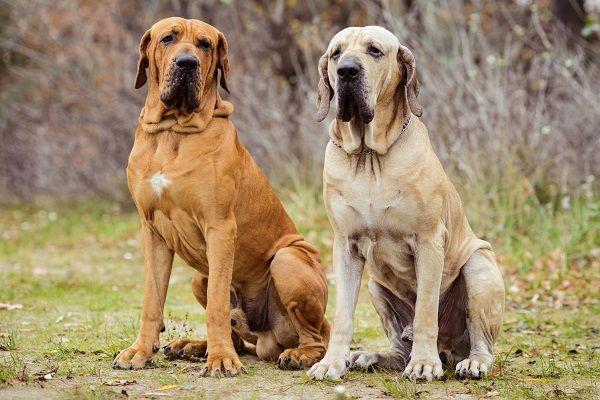 Fotografia de dois Filas Brasileiros para ilustração do item