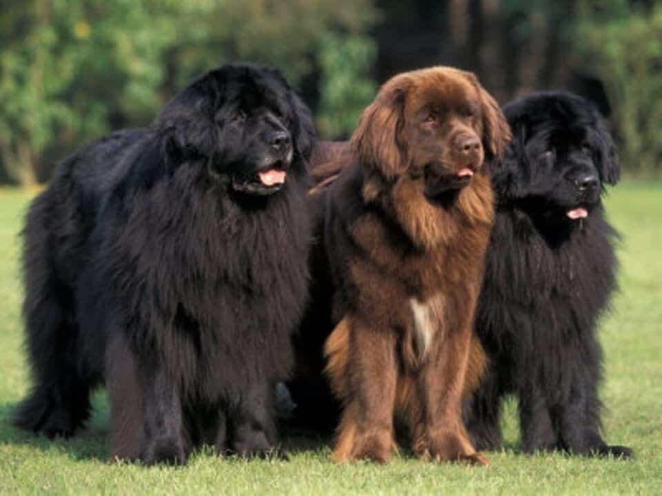 Terra Nova – Tudo sobre a raça desse cão gigante, fofo e encantador