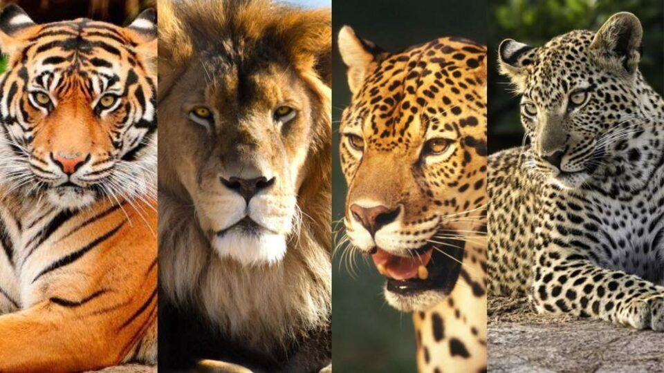 Tipos de Felinos – Principais espécies encontradas no mundo