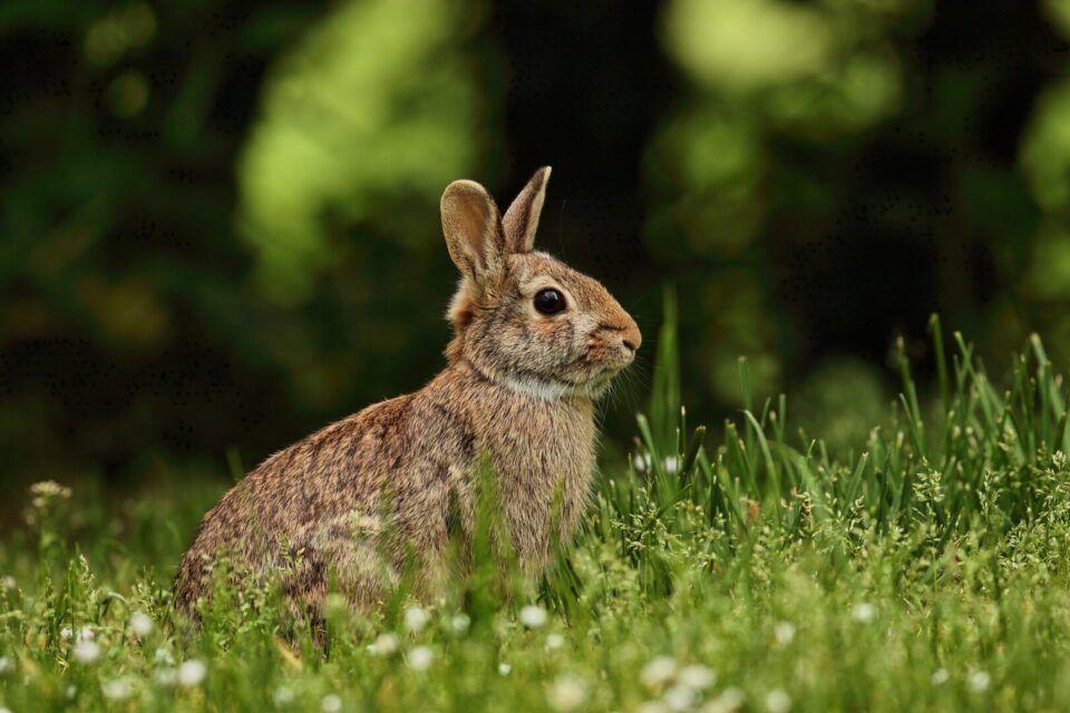 Tularemia, o que é? Sintomas, tratamento e prevenção da febre do coelho