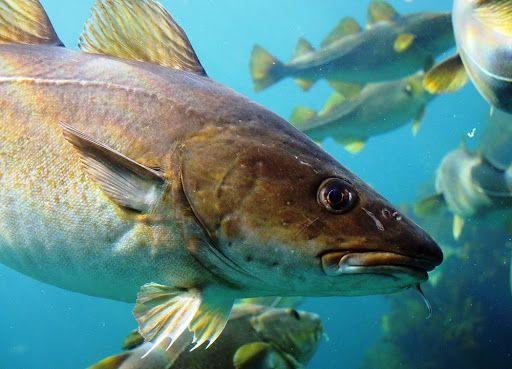 Cabeça de bacalhau: por que essa parte do peixe não é vendida?