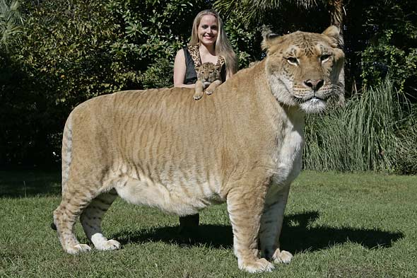 Ligre - principais características do animal híbrido de leão e tigre